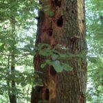 Des-nids-dans-un-chêne