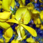 Fleur-de-genêt