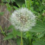 Fleurs-éphémères-des-un-pré