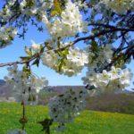 Fleurs-de-cerisier