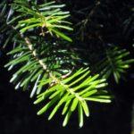 Rayon-de-soleil-sur-une-branche-de-sapin