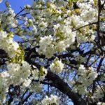 Un-beau-cerisier