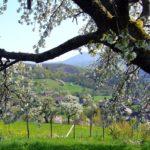 Vue-du-village-sous-un-cerisier-en-fleurs